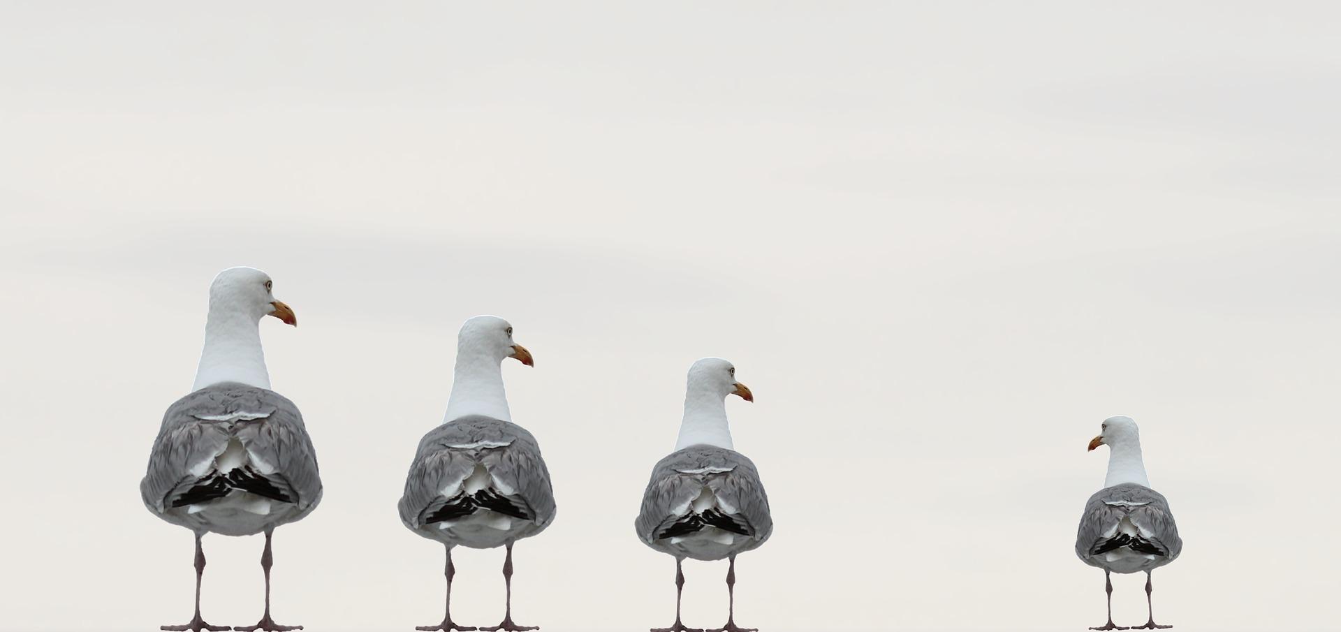seagulls-2662550_1920